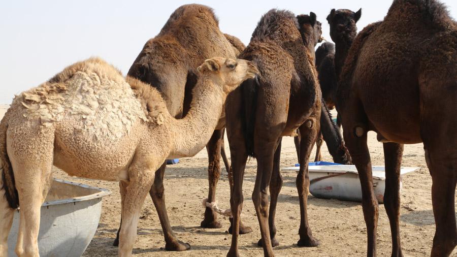 Koweit Dromadaire