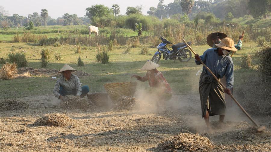 Birmanie Travailleurs du riz