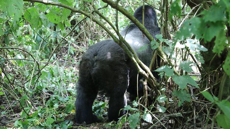 Congo 264