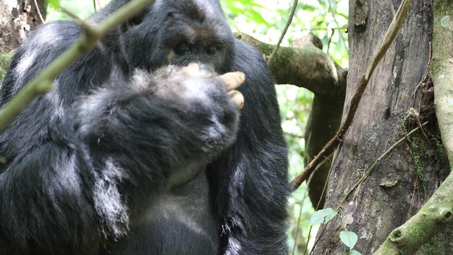 Congo 309