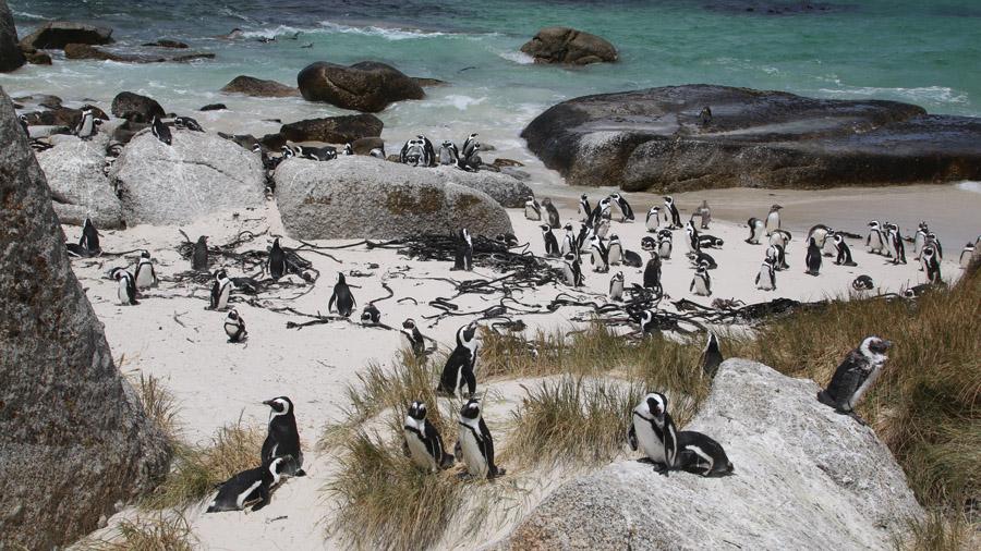 Afrique du Sud Pingouins