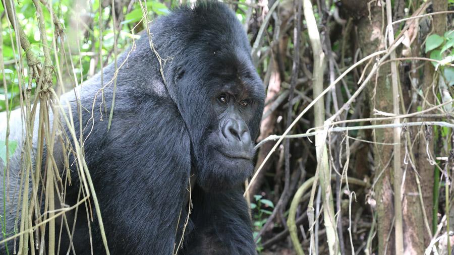 RDC Gorille dos argente