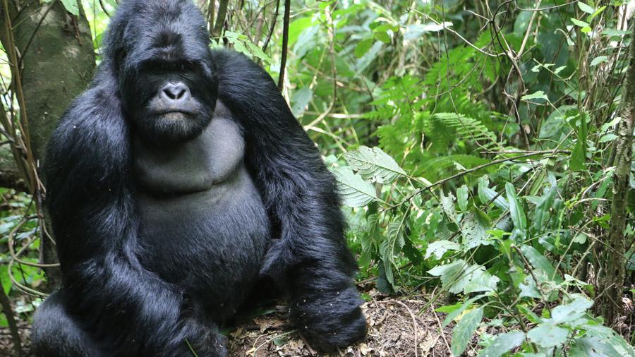 RDC Gorille male